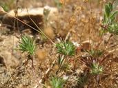 Navarretia peninsularis