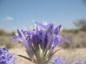 Eriastrum densifolium ssp. sanctorum