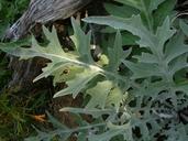 Cirsium douglasii var. breweri