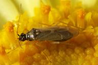 Dicyphus sp.