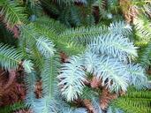 Cunninghamia lanceolata