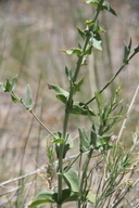 Linaria dalmatica
