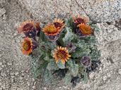 Hulsea vestita ssp. pygmaea