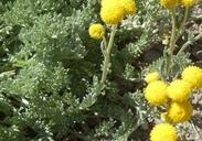 Sphaeromeria potentilloides var. potentilloides