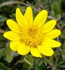 Lasthenia californica ssp. macrantha