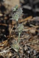Eryngium racemosum