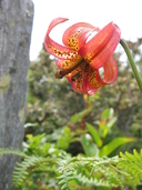 Lilium occidentale