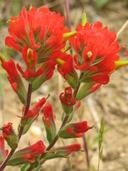 Castilleja affinis ssp. litoralis