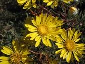 Grindelia stricta var. angustifolia