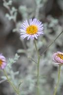 Erigeron blochmaniae