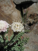 Chaenactis douglasii var. alpina