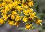 Ericameria parishii
