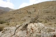 "<strong>Location:</strong> Near Borujen (Iran, Islamic Republic of)<br /><strong>Author:</strong> <a href=""http://calphotos.berkeley.edu/cgi/photographer_query?where-name_full=Kamran+Kamali&one=T"">Kamran Kamali</a>"