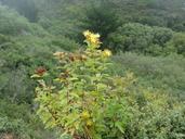 Hypericum grandifolium