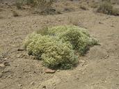 Petalonyx thurberi ssp. gilmanii