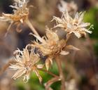 Ericameria gilmanii