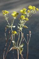 Eriogonum umbellatum var. ahartii