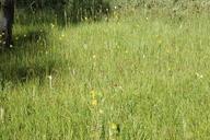 Eleocharis torticulmis