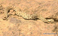 Spider-tailed Horned Viper
