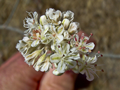 Eriogonum nudum var. psychicola