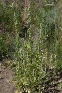 Chenopodium fremontii
