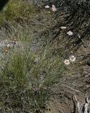 Erigeron filifolius