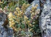 Sedum laxum ssp. flavidum