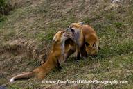 Vulpes vulpes fulva