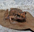 Eleutherodactylus planirostris