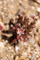 Eriogonum spergulinum var. pratense
