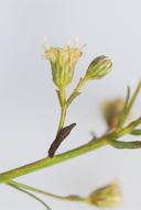 Baccharis plummerae ssp. glabrata