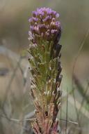 Castilleja exserta ssp. latifolia