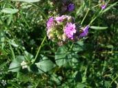 Mirabilis nyctaginea
