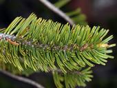 Pinus balfouriana ssp. balfouriana
