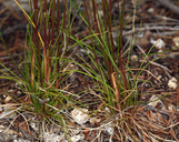 Festuca occidentalis