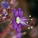 Phacelia greenei
