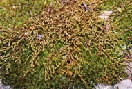 Pseudobraunia californica