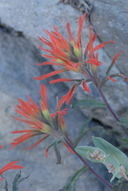 Applegate's Indian Paintbrush