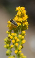 Solidago guiradonis