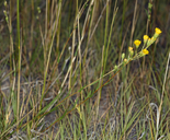 Pyrrocoma racemosa var. paniculata
