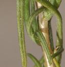 Ericameria albida