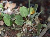 Eriogonum panamintense