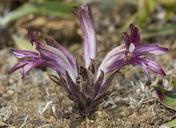 Orobanche californica ssp. californica