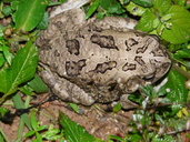Common African Toad