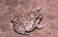 Cryptic Sand Frog