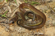 Asian Common Rat Snake