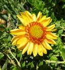 Gaillardia sp.