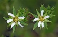 Horkelia fusca var. parviflora