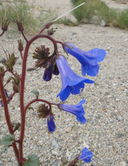 Phacelia campanularia ssp. vasiformis