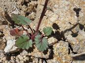 Phacelia campanularia var. vasiformis